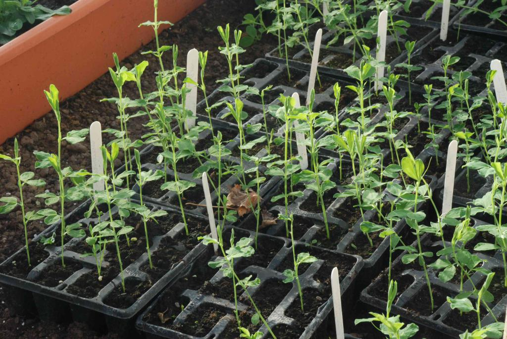 Горох посевной: описание, полезные свойства и выращивание
