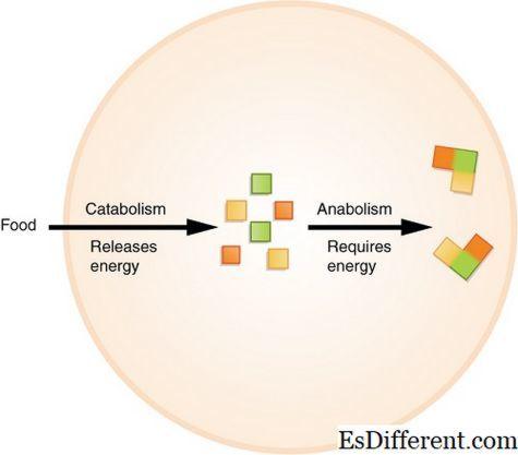Катаболизм - что это такое, общий путь и этапы процесса в организме