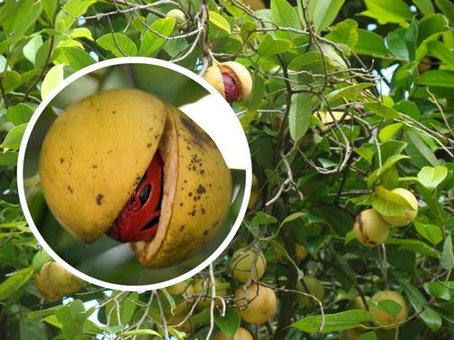 Польза мускатного ореха: 135 фото, виды, применение и особенности сочетаний продуктов