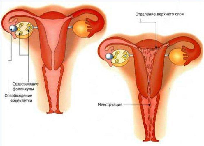 Что такое менструация, почему идут и для чего нужны месячные у девушек и женщин?