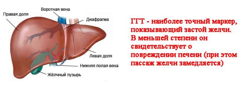 Биохимический анализ крови что показывает гамма гт