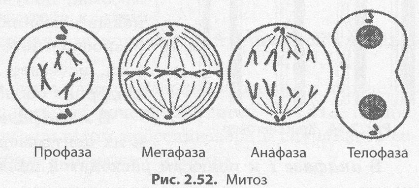 Какова роль митоза в следующих животных процессах: