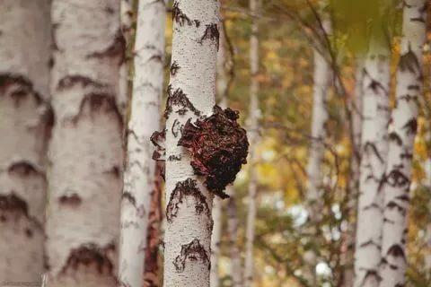 Что такое чага — рецепты и неожиданные свойства полезного гриба — ботаничка.ru