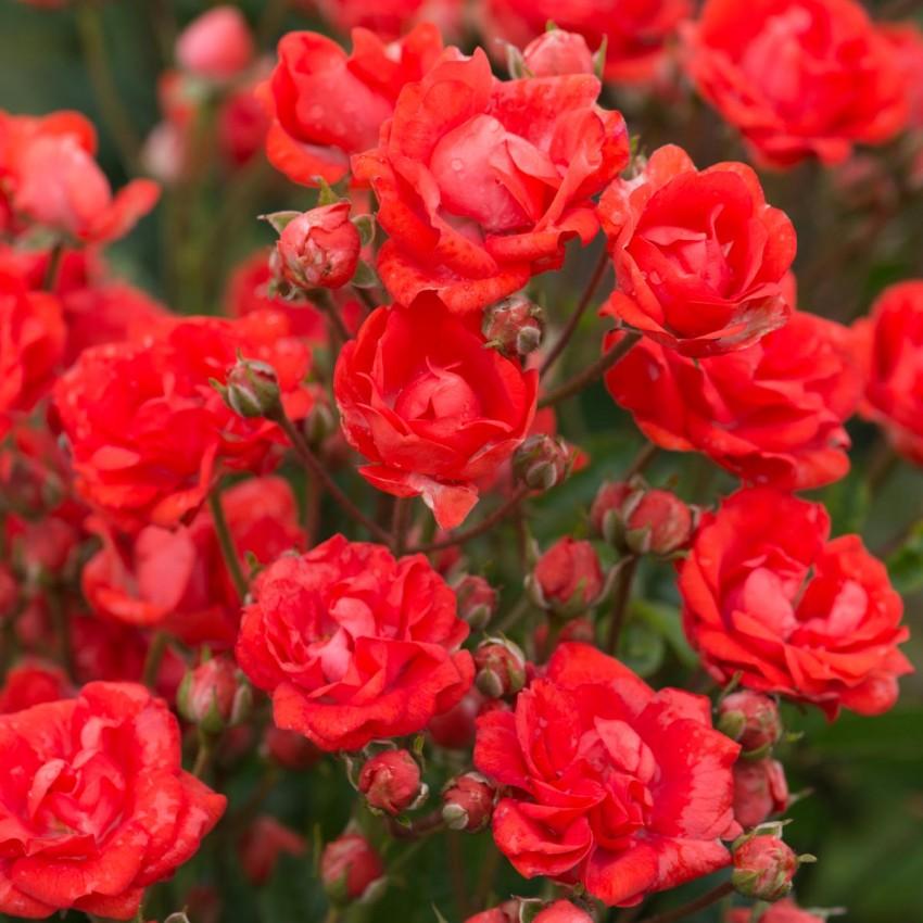 Розы спрей — мелкоцветковые, бордюрные розы