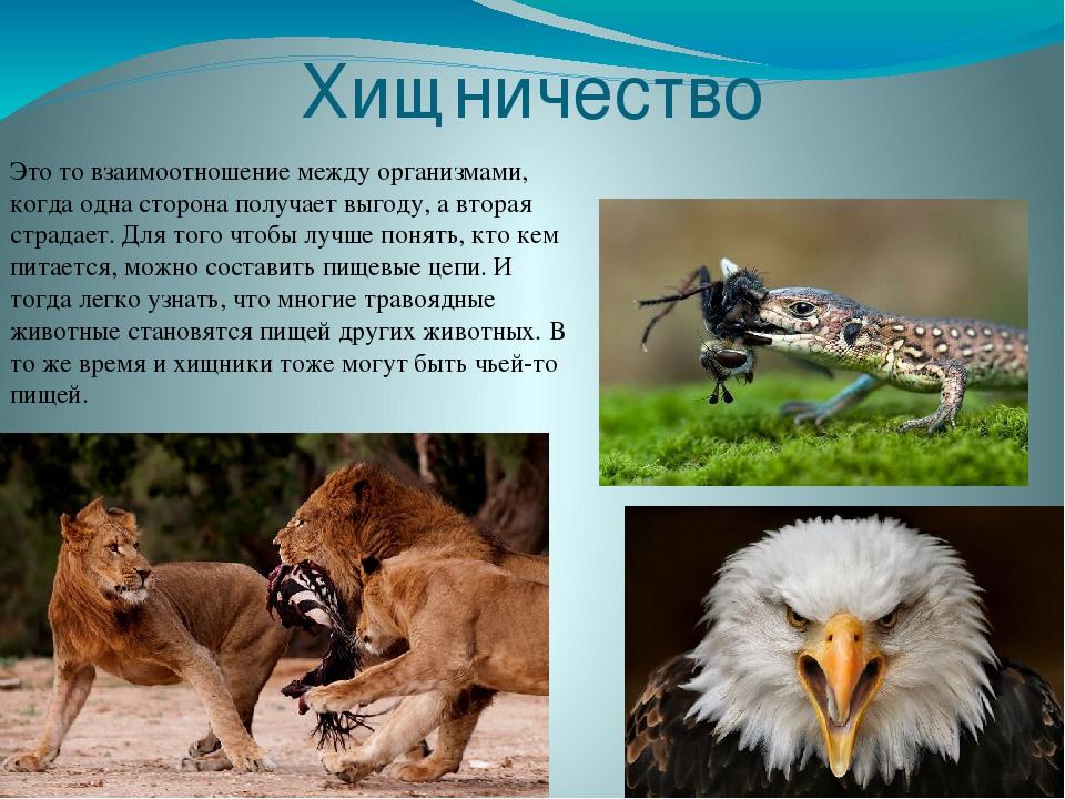 Пример хищничества в природе