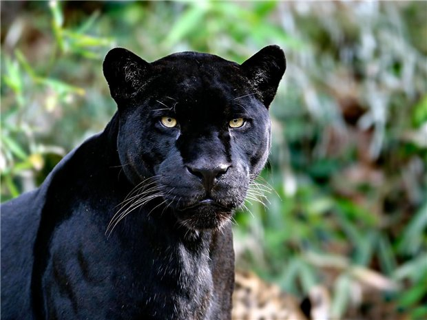Животное чёрная пантера — где обитает и как выглядит