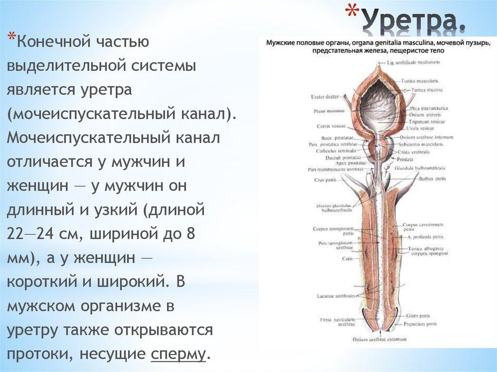 Уретриты у женщин: особенности течения, клиника, диагностика и лечение | здорова и красива