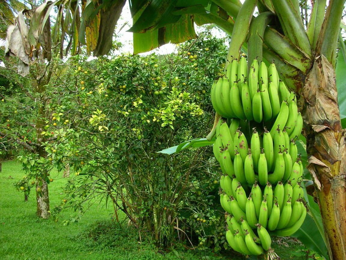 Что такое банан фрукт или трава — ягоды грибы