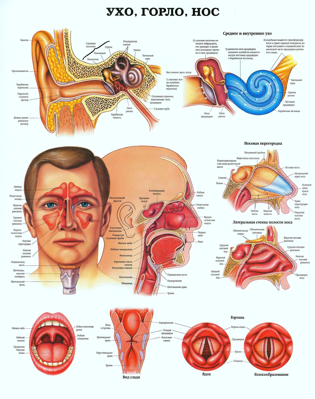 Среднее ухо: что это такое, его строение и лечение среднее ухо: что это такое, его строение и лечение