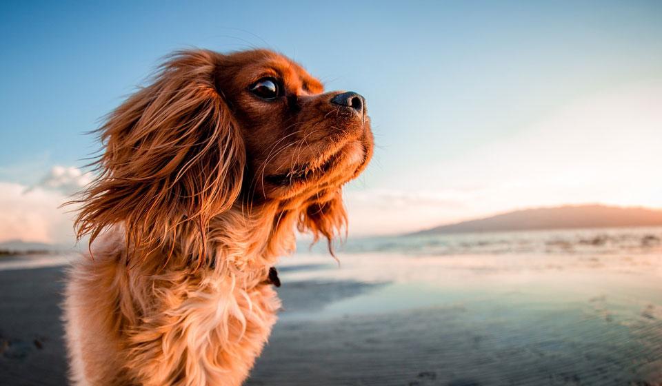 Течка у собак: этапы цикла, продолжительность и возможные осложнения