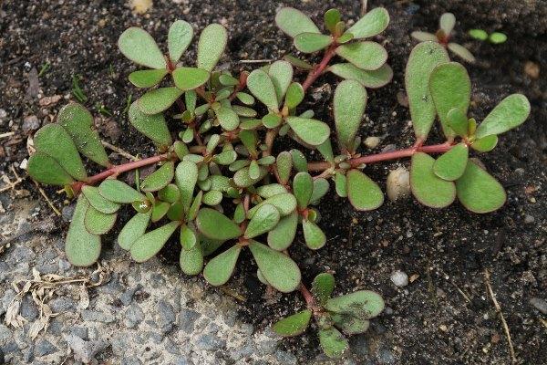 Портулак - посадка, уход в открытом грунте, размножение и выращивание