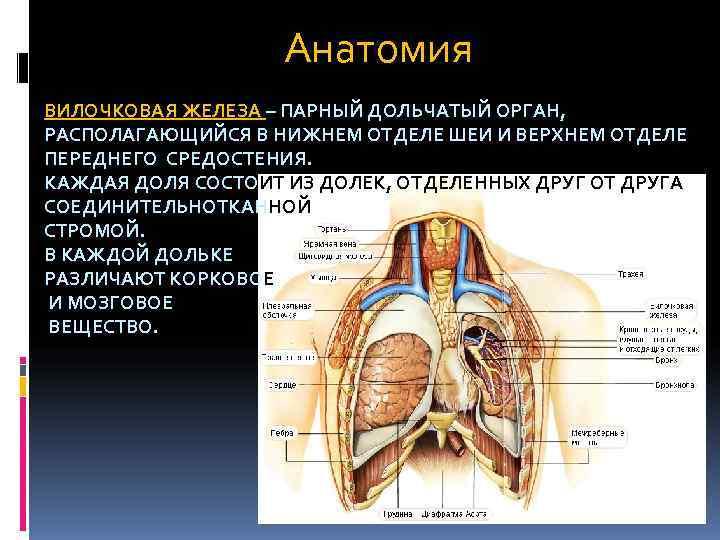 Вилочковая железа: где находится и за что отвечает