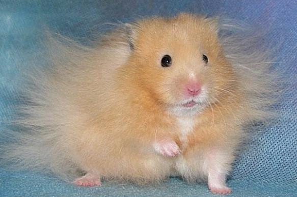 Хомяк - hamster