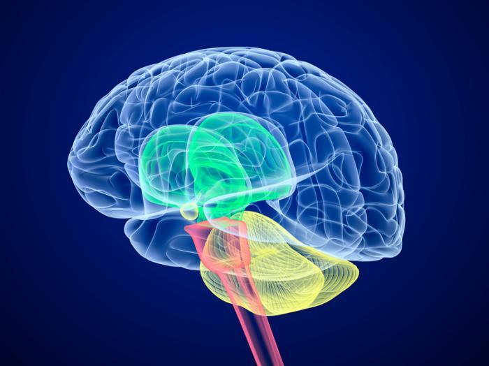 За что отвечает мозжечок: функции, симптомы поражения мозжечка, мозжечок и расстройства координации движений.