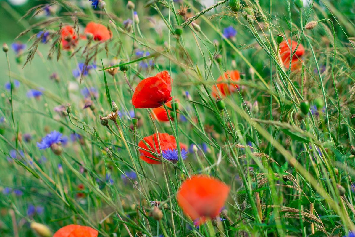 Люцерна: фото и виды, выращивание и уход за растением