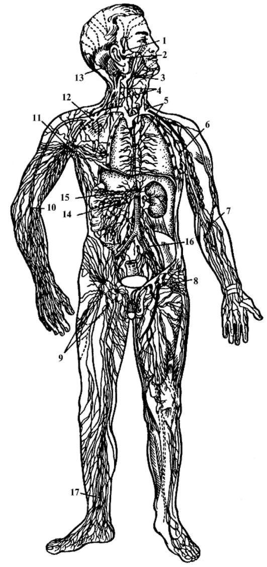 Что такое лимфа: схема движения в лимфатической системе, состав и функции | parnas42.ru