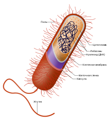 Клеточные культуры - вики