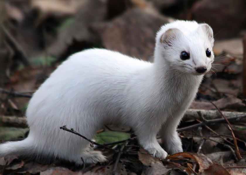 Животное ласка: фото и описание, где живет и чем питается