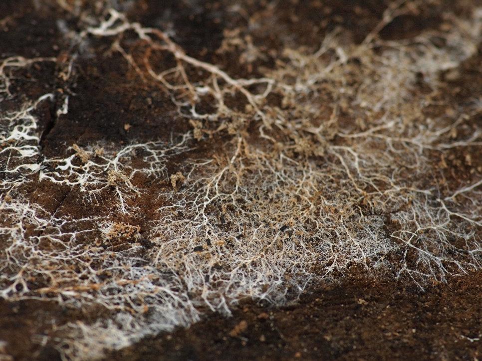 Что такое мицелий грибов: строение, свойства и разновидности грибницы + выращивание на участке и в домашних условиях