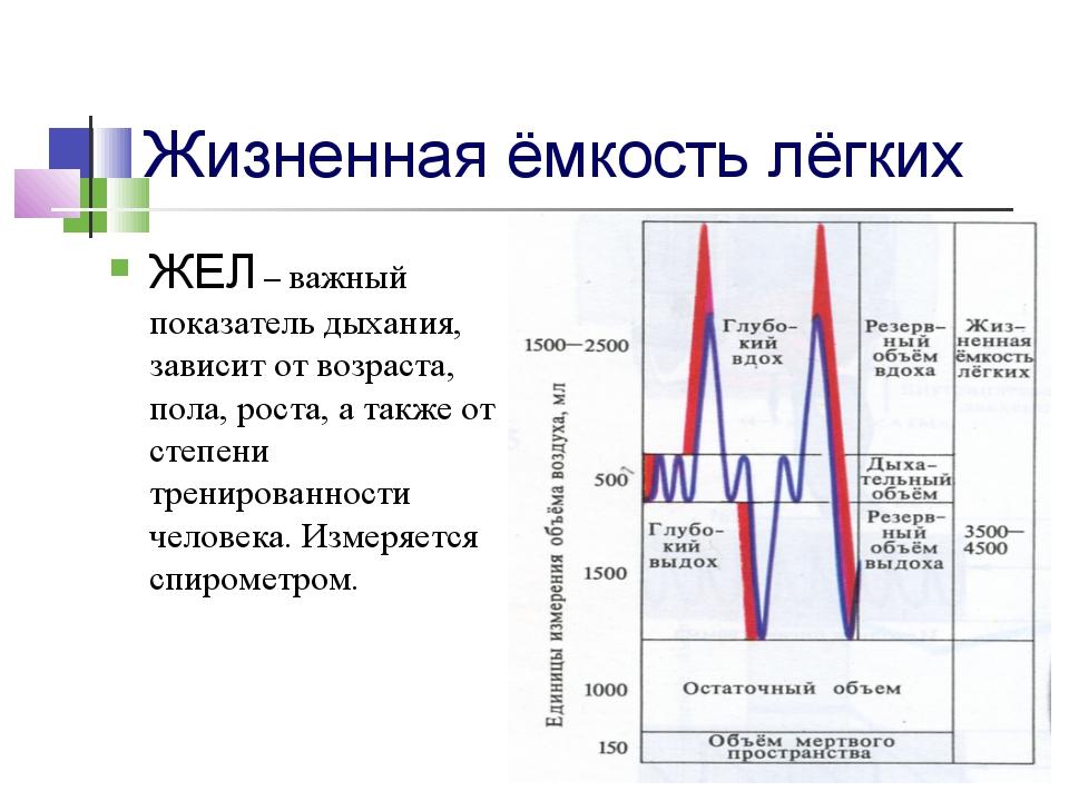 Формула расчета жизненной емкости легких. что такое жел (жизненная ёмкость легких)