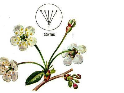 Соцветия растений, биологический смысл, простые и сложные соцветия