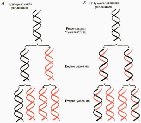 Репликация днк - dna replication