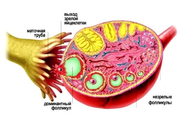 Фолликулы в яичниках: что это такое, когда созревают, норма содержания, причины отсутствия