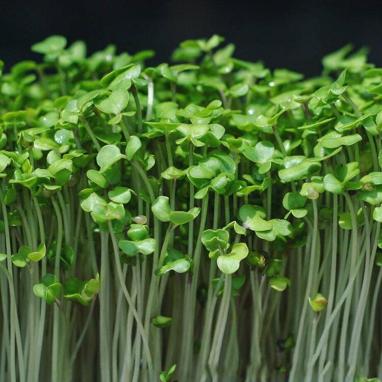 Микрозелень: что это такое