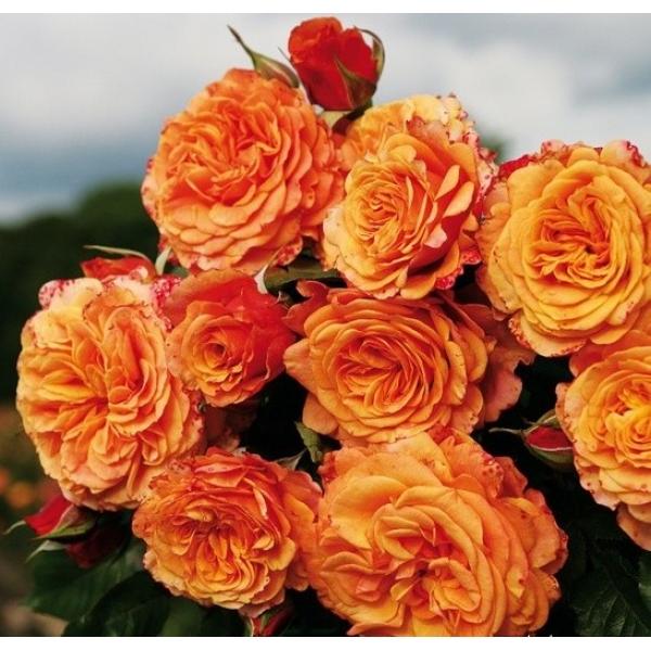 Сорта роз: старинные, современные и шрабы - энциклопедия цветов
