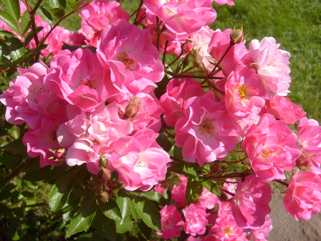 Полиантовые розы (41 фото): особенности и описание сортов. как вырастить розы из семян в домашних условиях? тонкости посадки и ухода