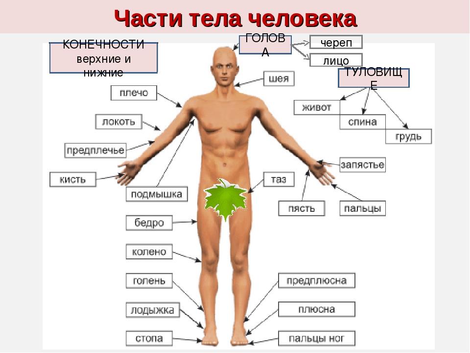 Голень — википедия с видео // wiki 2