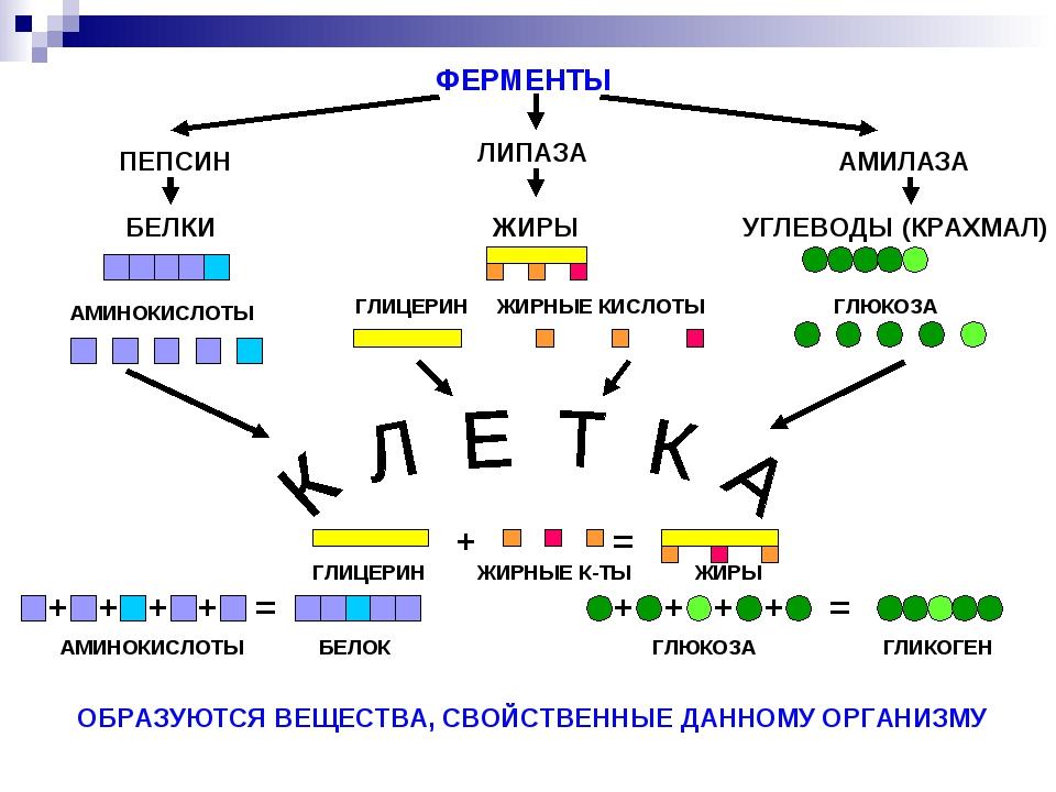 Липаза в биохимическом анализе крови