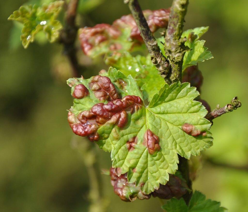 Болезни красной смородины, вызывающие красные пятна на листьях
