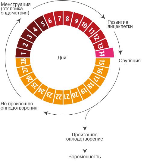 Менструальный цикл: фазы цикла, изменения и возможные нарушения