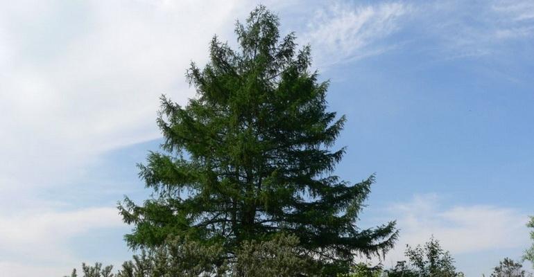 Лиственница сибирская — википедия. что такое лиственница сибирская
