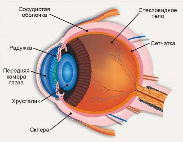 Глаз — википедия. что такое глаз