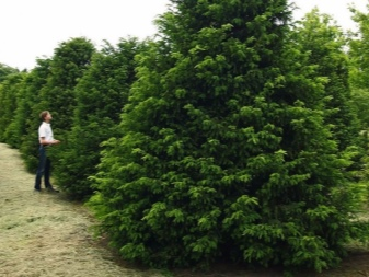 Дерево тис: разновидности и особенности выращивания