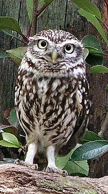 Сыч птица. образ жизни и среда обитания сыча | животный мир