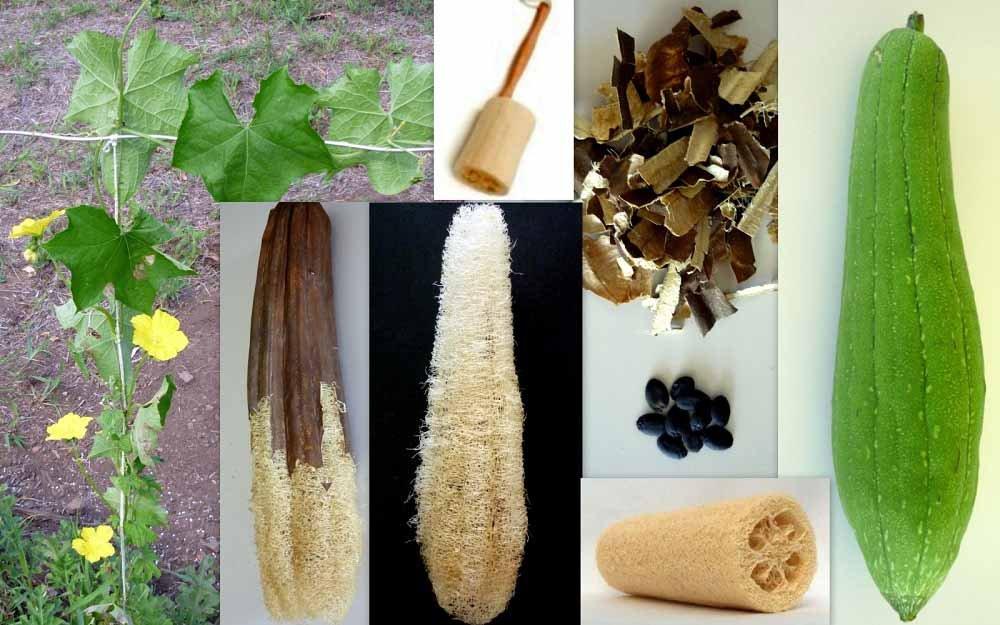 Люффа – природная мочалка. описание, выращивание из семян. использование. фото — ботаничка.ru