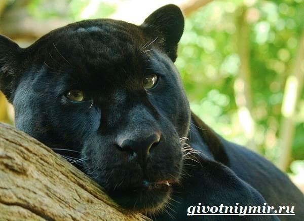 Пантеры — википедия