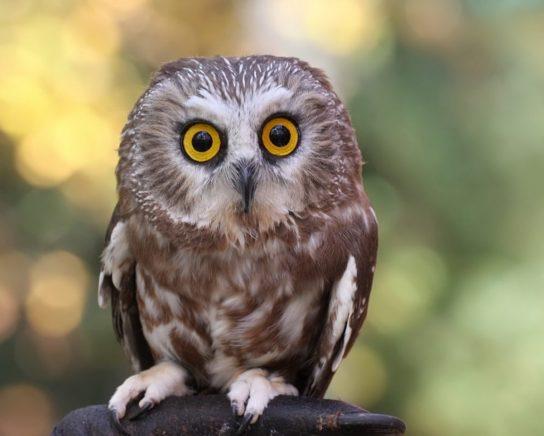 Сыч птица. образ жизни и среда обитания сыча