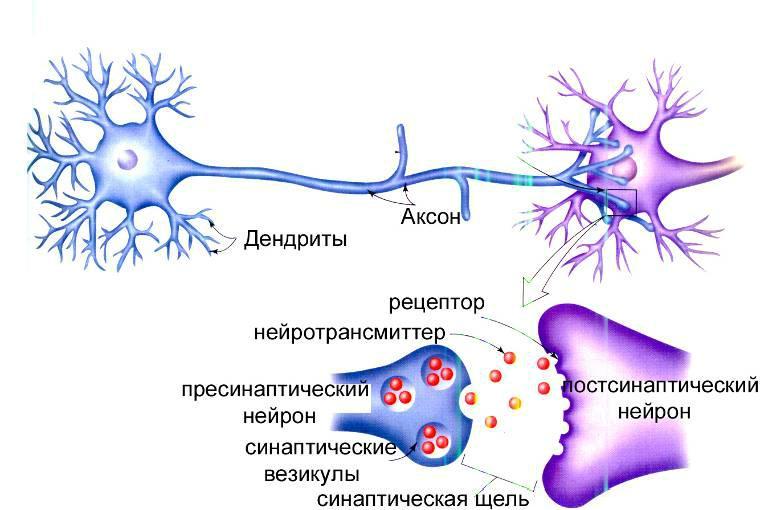 Дендрит - это что такое? определение и функции :: syl.ru