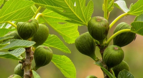 Фиговое дерево – как выращивать в домашних условиях, возможные болезни, правила пересадки и размножения