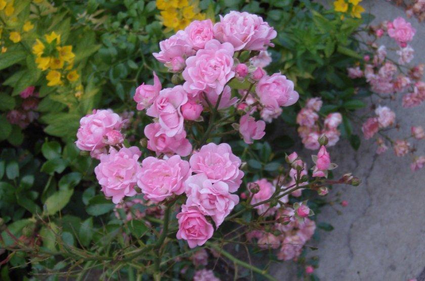 Топ-8 роскошных полиантовых роз