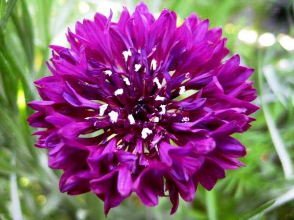 Люцерна – многолетняя посевная культура. свойства и особенности