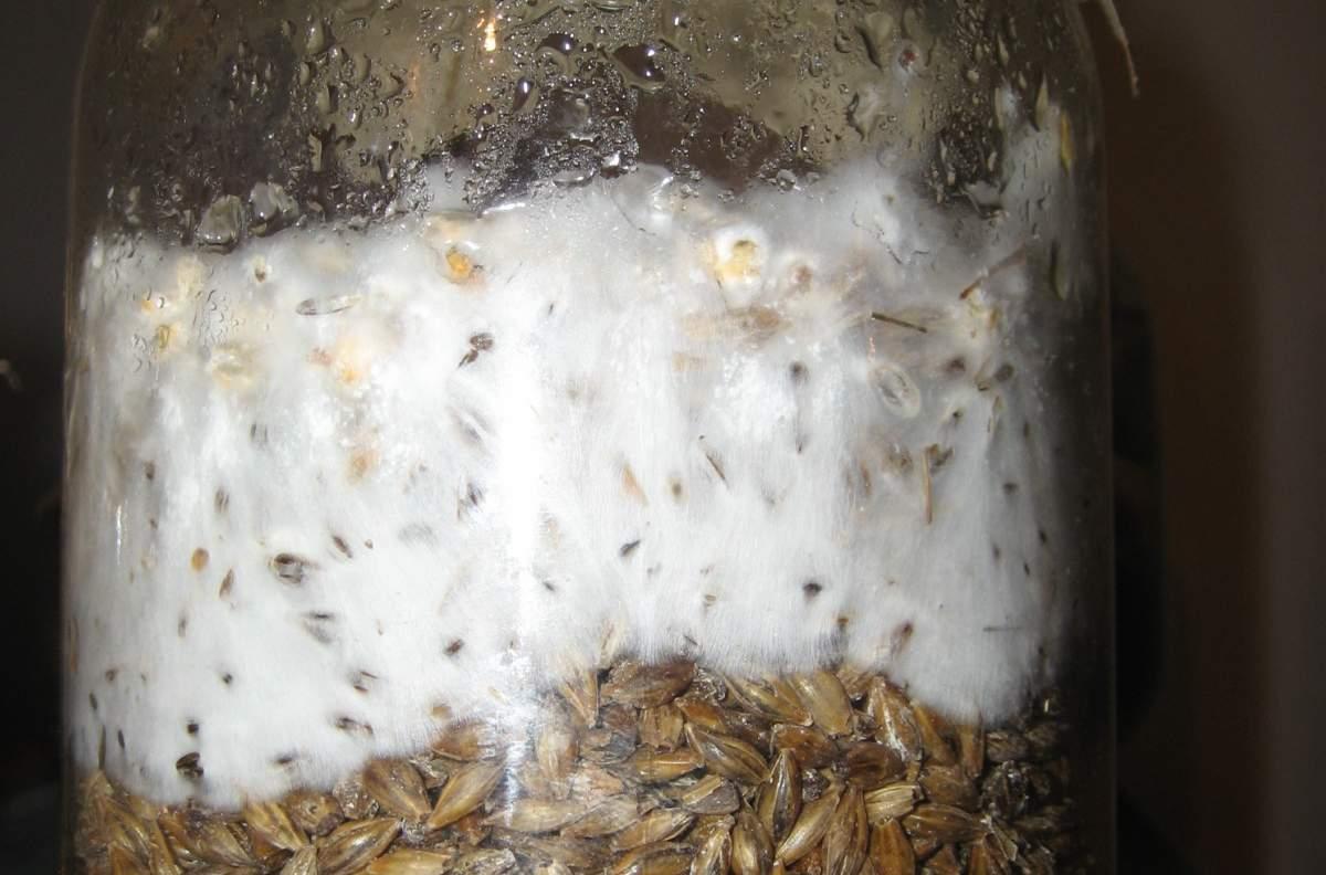 Мицелий или грибница грибов: что это такое и как выглядит, как вырастить на даче и в домашних условиях?