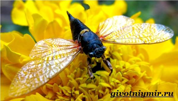 Вредитель с голосом: цикадка белая, певчая, японская и другие виды