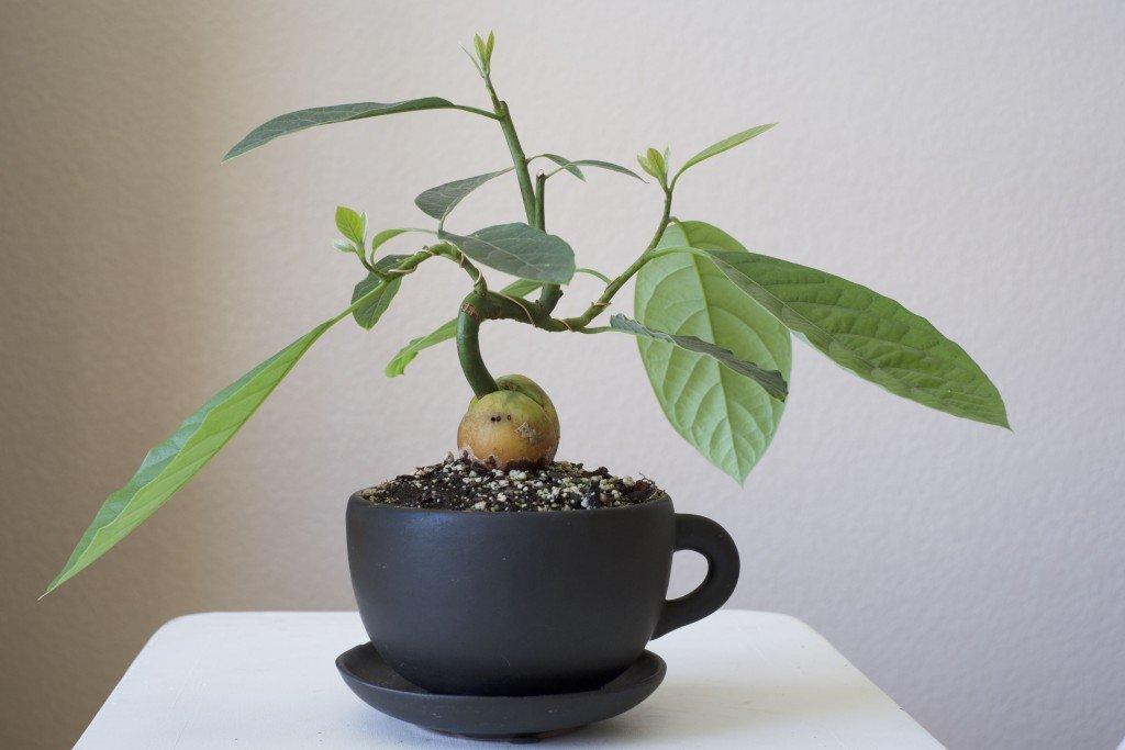 Авокадо – это фрукт или овощ, какая польза для организма и рецепты