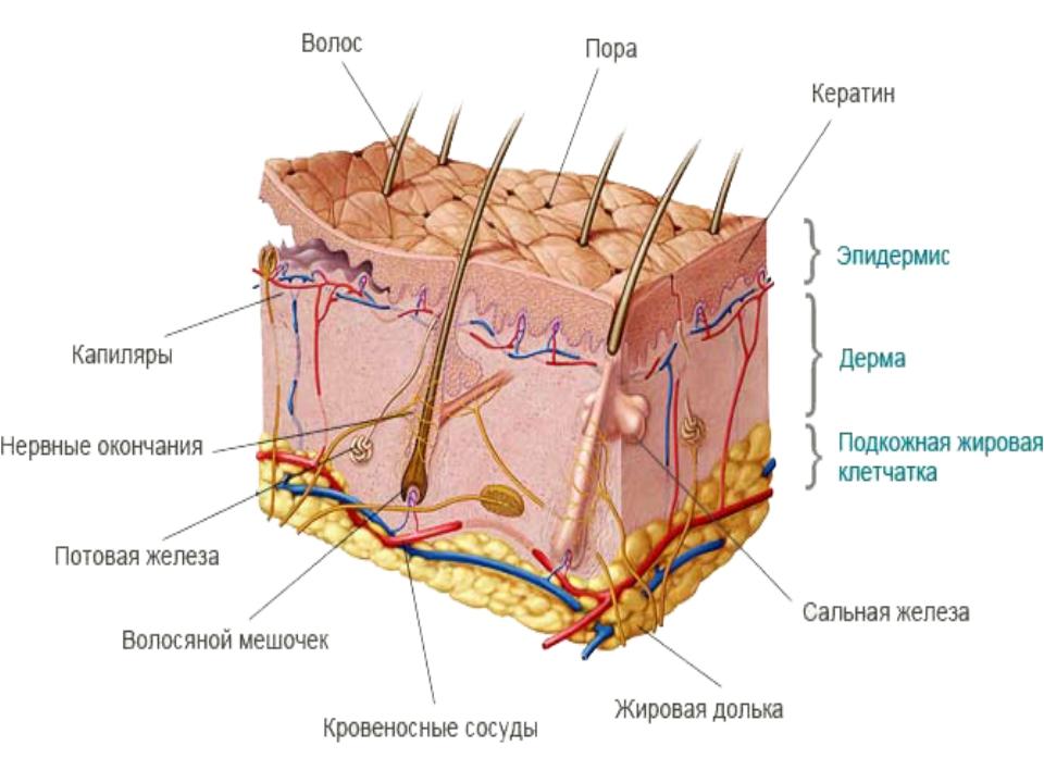 Строение кожи. часть 2. дерма