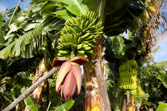 К чему относится банан — фруктам или ягодам?